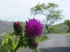 平尾台の花 『ヒレアザミ』