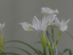ヒメシャガ(白花)
