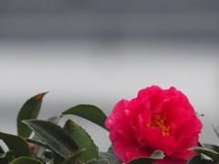 しずくを纏う『山茶花』3