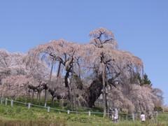 滝桜に演出はいらない。