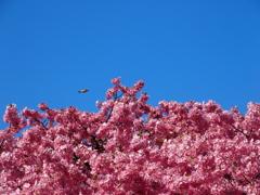 メジロが小さいんじゃなくて、河津桜が大きいのです。