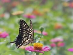 百日草とナミアゲハ 2