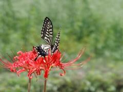 彼岸花とナミアゲハ 2