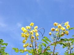 平尾台に咲く花(ジャケツイバラ)