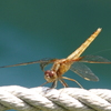 蜻蛉 11