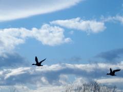 雲と鴨と 1