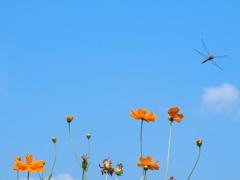 キバナコスモスと蜻蛉 2