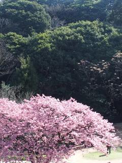 河津桜 俯瞰で