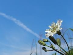 平尾台の花 『タカサゴソウ』その2