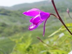 平尾台の花 『シラン』