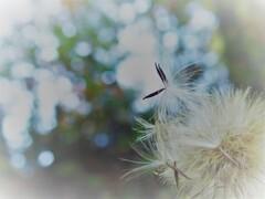 綿毛の季節 6