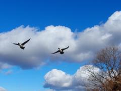雲と鴨と 2