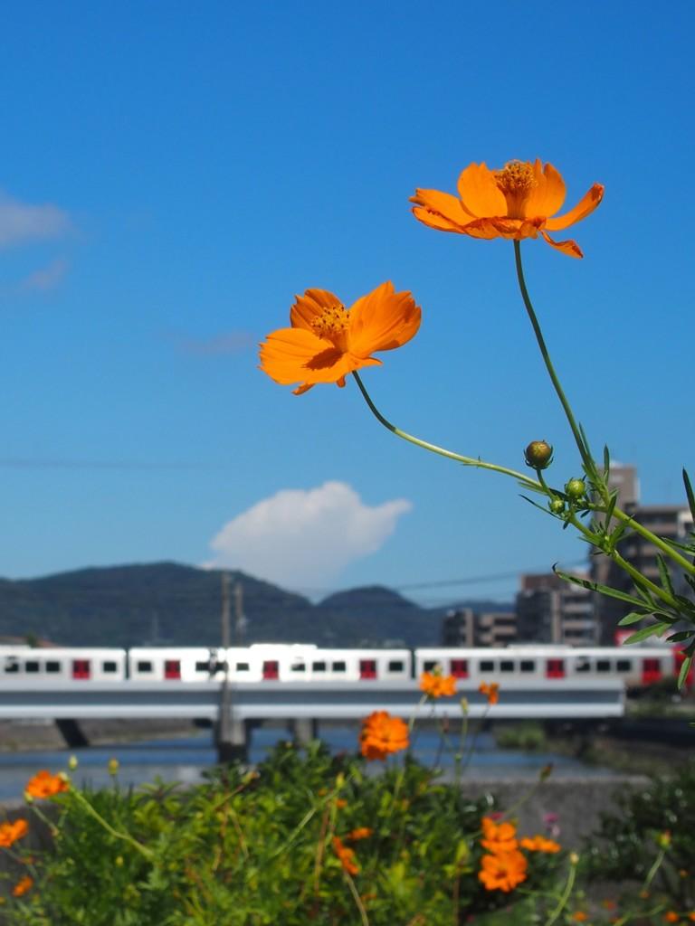 キバナコスモスと電車