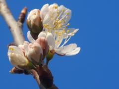 桜始まる 1