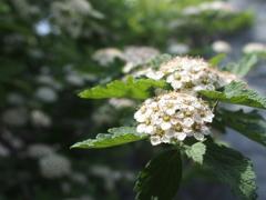 平尾台の花 『イブキシモツケ』
