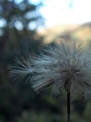綿毛の季節 2