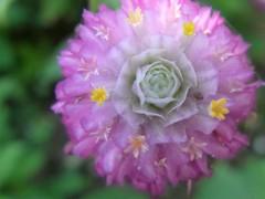 花芯に薔薇