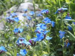 平尾台の花 『ホタルカズラ』