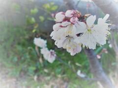 桜始まる 2
