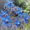 花壇のお花たち ボリジ
