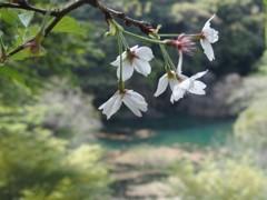 なごり桜 2