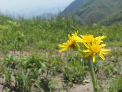平尾台の花 『オカオグルマ』