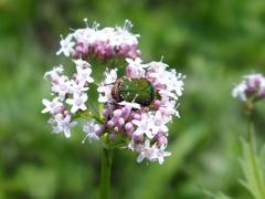 平尾台の花 『カノコソウ』