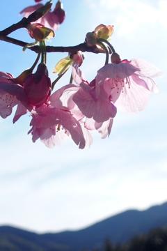 里山に桜咲く