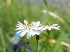 平尾台の花 『タカサゴソウ』