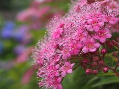 花壇に咲くお花たち シモツケ
