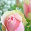 やさしい色の薔薇