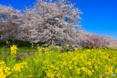 菜の花畑に春が来る 其の弐
