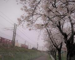 2018/04/09 桜、間もなくです。