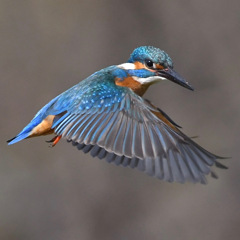 Hovering of the kingfisher ☆(^^)☆