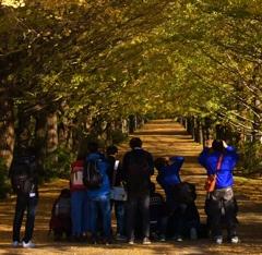国営昭和記念公園 銀杏