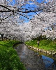 桜 ☆(^^)☆