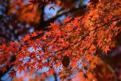 中院の紅葉