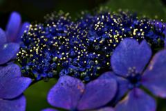 紫陽花銀河の星
