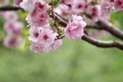 ぽてっと桜