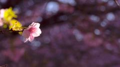 桜静かに咲く