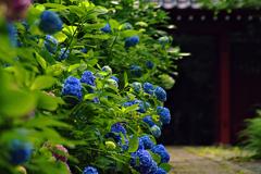 花のお寺 アジサイ