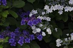 白 と 紫 の流れ