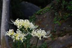 彼岸花白花