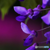 藤の花ひとつ