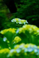 本土寺 若い花