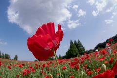 赤い花 青い空 白い雲