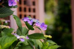 祠の紫陽花