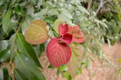 赤い芽吹き