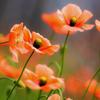 緋色の花園 花いっぱい運動
