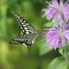 夢中な揚羽蝶